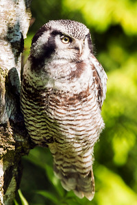 Northern Hawk Owl - Hiiripöllö - Surnia ulula