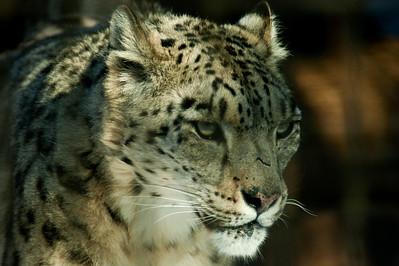 Snow leopard; Lumileopardi; Uncia uncia; Korkeasaari; eläintarha; zoo; Helsinki; 2017; Timo Sivonen