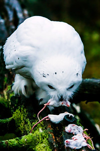 Snowy owl - Tunturipöllö - Nyctea scandiaca