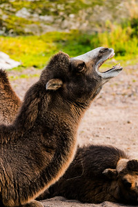 Domestic bactirian camel - Kaksikyttyräinen kameli - Camelus bactrianus