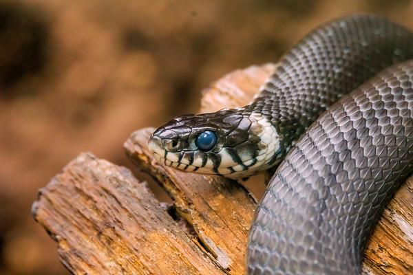 Grass snake - Rantakäärme - Natrix natrix