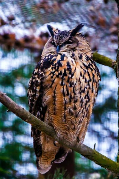 Eurasian Eagle Owl - Bubo bubo - Huuhkaja