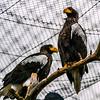 Steller's Sea Eagle - Kuningasmerikotka - Haliaeetus pelagicus