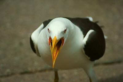 Merilokki - Larus marinus - Seagull