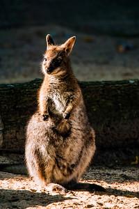 Punaniskavallabi - Macropus rufogriseus - King Island Wallaby
