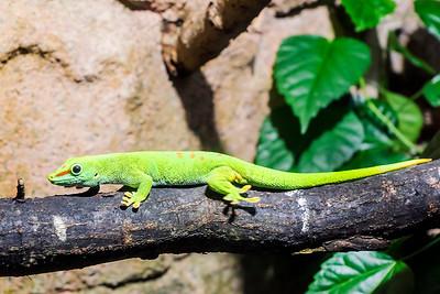 Giant Day Gecko - Isopäivägekko - Phelsuma grandis