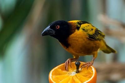 Sweet orange... - Makea appelsiini...