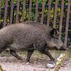 Eurasian wild boar - Villisika - Sus scrofa