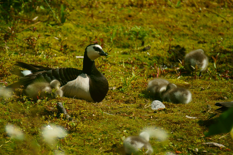 Valkoposkihanhi - Branta leucopsis - Barnacle goose