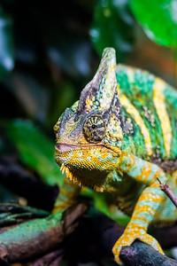 Veiled chameleo - Jemeninkameleontti - Chamaeleo catyptratus
