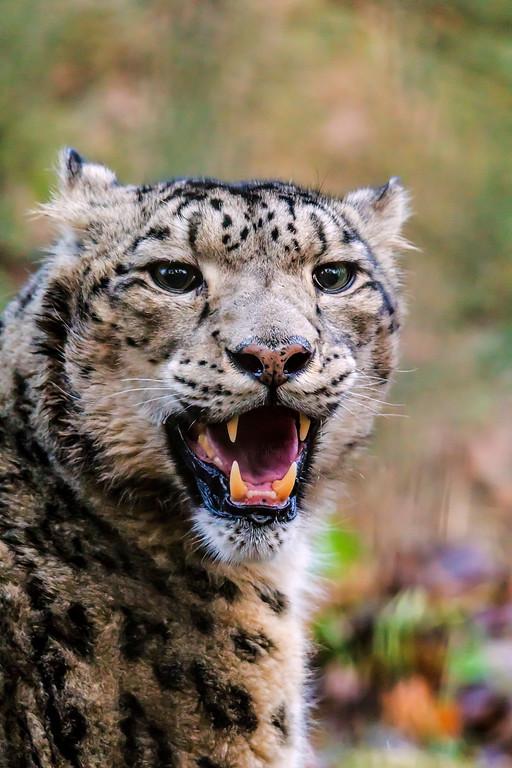 Snow leopard - Lumileopardi - Uncia uncia