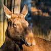 Elk - Hirvi - Alces alces