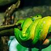 Green tree python - Puupyton - Chondropython viridis
