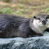 Asian small-clawed otter, National Zoo, Smithsonian, Washington DC.