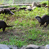 Asian small-clawed otters, National Zoo, Smithsonian, Washington DC.