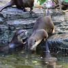 Asian small-clawed otters, National Zoo, Smithsonian, Washington DC.