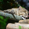 Fishing cat dad Lek, napping at the National Zoo in Washington DC.