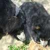 Hannah the mommy, Hank the baby, both sloth bears at the National Zoo in Washington DC.