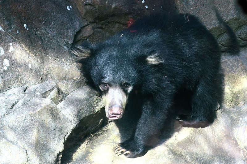 Hank, the sloth bear cub, born December 19, 2012.