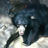Hank, the sloth bear cub, born December 19, 2012.
