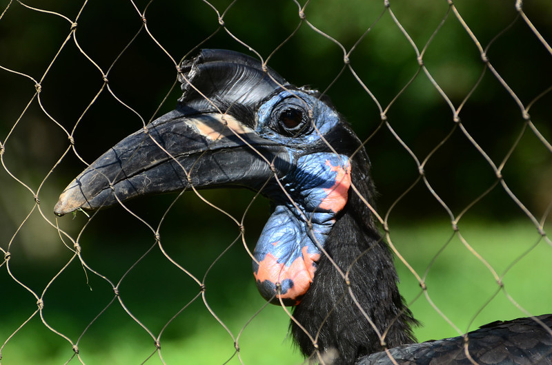 Abyssinian hornbill, the red marks him as a male.
