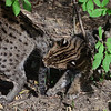 Fishing cat kitten Wasabi, born May 17, 2013, with his mother Electra, at the National Zoo in Washington DC.