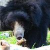 The National Zoo's web site says this sloth bear is named Francois but I can't imagine him being called anything but Frank. He's the father of Hank, who's mother is Hannah.