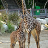 "This is a picture of baby Leo and his sister, Sofie. Sofie was born at the Los Angeles Zoo & Botanical Gardens on April 22, 2013, weighing in at 135 pounds and standing six feet tall. They were both born to the zoo's female Masai giraffe, ""Hasina,"" and to the zoo's male Masai giraffe, ""Armitus."""