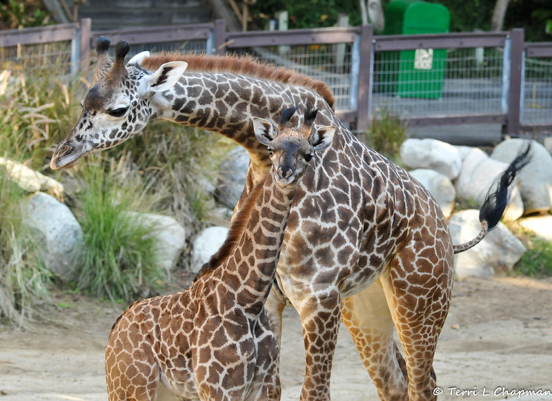 """This is a picture of baby Leo and his sister, Sofie. Sofie was born at the Los Angeles Zoo & Botanical Gardens on April 22, 2013, weighing in at 135 pounds and standing six feet tall. They were both born to the zoo's female Masai giraffe, """"Hasina,"""" and to the zoo's male Masai giraffe, """"Armitus."""""""
