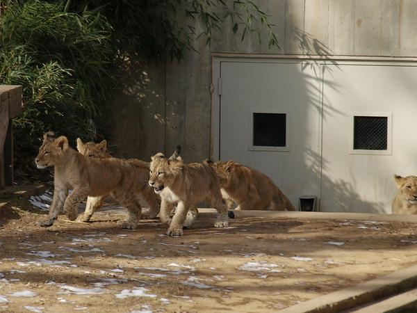 Lions' Pride at the National Zoo Washington DC