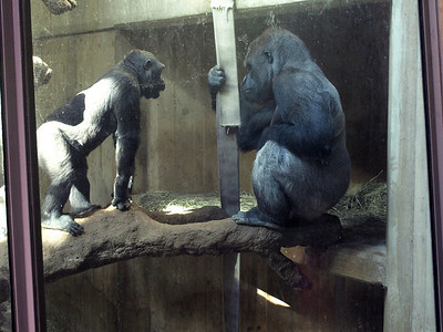 Way too cold to be outdoors, youngster Kojo, left, and Baraka converse in their indoor habitat, March 4, 2009.