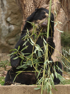Billie Jean, a young female Spectacled Bear, came to the National Zoo in February, 2009.