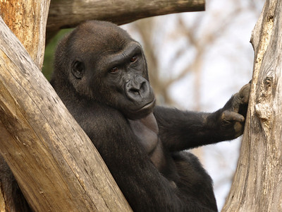 Kigali is Mandara's oldest child still living at the National Zoo. The gorilla bios come from http://nationalzoo.si.edu/Animals/Primates/MeetPrimates/MeetGorillas/default.cfm.