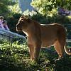 Adult female lion Lusaka, at the National Zoo, Washington, DC, October 14, 2007.