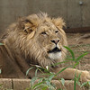 Male lion, Luke, calls for his breakfast at the National Zoo, Washington, DC, February 17, 2008.