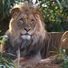 Male lion, Luke, keeps watch at the National Zoo, Washington, DC, January 1, 2008.