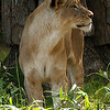 Adult female lion Lusaka, at the National Zoo, Washington, DC, May 23, 2007.