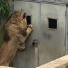 Male lion, Luke, wants his breakfast at the National Zoo, Washington, DC, February 17, 2008.