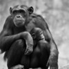 Chimpanzee mother with her female baby