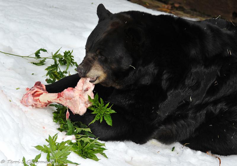 "American Black Bear on ""Snow Day"""