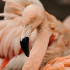 "A Chilean  Flamingo<br /> <br /> Flamingos are extremely gregarious and social birds with some flocks containing 200,000 pairs. They breed in huge colonies, sometimes on islands in shallow water to minimize disturbance. They are monogamous. Each pair builds a cylindrical mud nest into which the female lays a single chalky shelled egg. Both parents incubate the egg alternately, which hatches in about four weeks; and it takes another ten weeks before the chick fledges. After hatching, the chick is fed ""crop milk"", cells that are grown in the crops of both parents. After about one month the chick begins to eat solid food. Since the adult coloration comes from their food, the chicks are born with gray feathers. It takes about two years to attain full adult coloration. Flamingos are strong flyers, flying in long curved lines with the neck and legs extended. Flamingos are estimated to live between 25-60 years."
