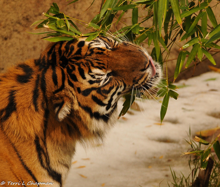 """Sumatran Tiger (male) eating bamboo leaves on """"Snow Day"""""""