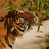 "Sumatran Tiger (male) eating bamboo leaves on ""Snow Day"""