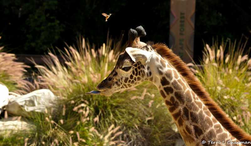 An Allen's Hummingbird hovering over a baby Masai Giraffe.