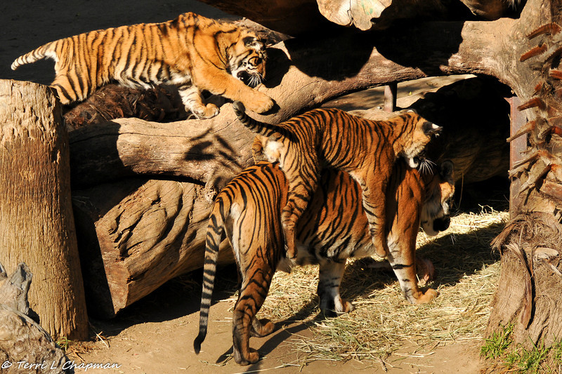 Sumatran Tiger Cubs playing with their mom - one cub jumped on his mom's back!