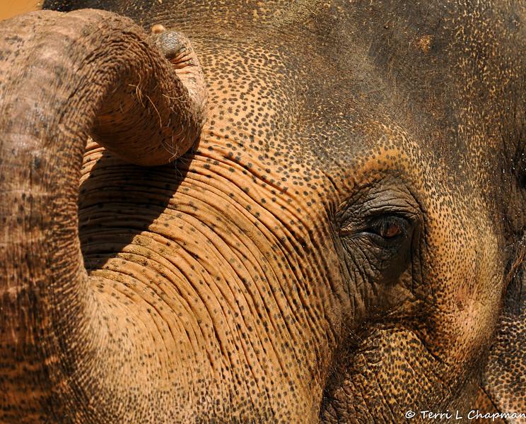 Adult Asian bull elephant, Billy