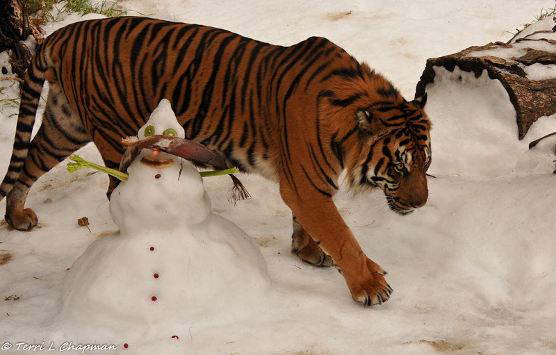 "Sumatran Tiger (male) on ""Snow Day"""