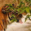 Sumatran Tiger Adult male chewing on the bamboo plant in his exhibit