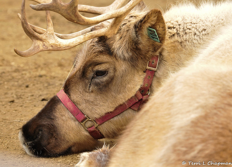 A Reindeer visiting the zoo for the holidays 2014