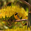 A male Hooded Oriole perched in a Century plant. Although most visitors to the zoo come to see the animals, the zoo features more than 800 different species of plants, which provide food and shelter for many native and migratory birds, and also provides browse for many residents of the zoo.